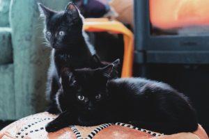 Två svarta katter på en puff
