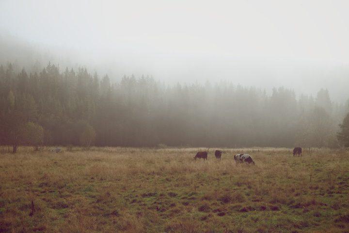 Kor på äng i dimma