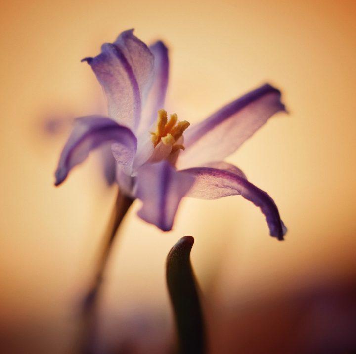 Lila blomma mot orangegul bakgrund