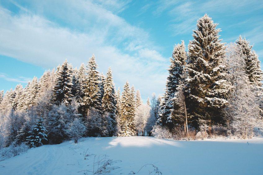 Snöklädd och solig skog med blå himmel
